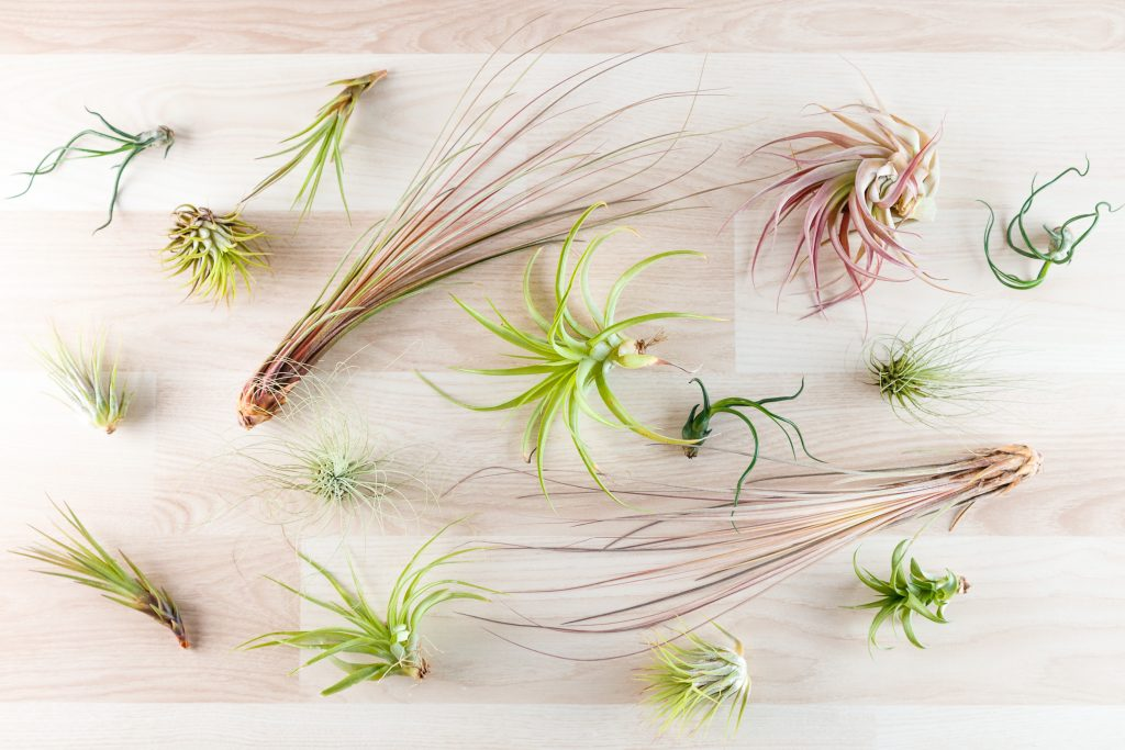 various types of air plants